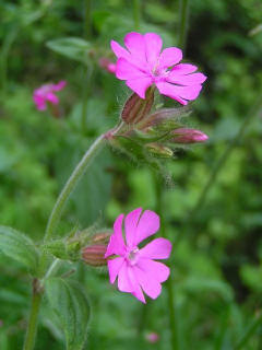 A guide to uk wild flowers red campion may to october mightylinksfo